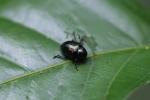 Black dung beetle