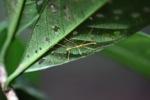 Walking stick insect [kalbar_1575]