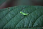 Bright green grasshopper [kalbar_1578]