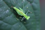 Bright green grasshopper [kalbar_1579]