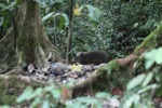 Wild pig in Kalimantan