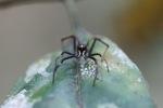 Jumping spider [kalbar_1897]