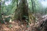 Buttress roots [kalbar_1638]