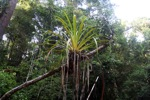 Epiphyte in Borneo [kalbar_1651]