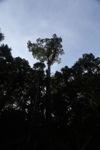 Giant emergent tree in Borneo