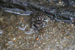 Frog on a river beach in Borneo