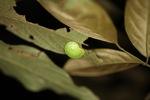 Green snail [kalbar_1674]