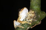 Tree frog [kalbar_1692]