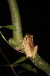 Tree frog [kalbar_1693]