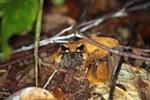 Borneo Leaf Frog (Megophrys nasuta) [kalbar_1702]