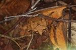 Asian Leaf Frog (Megophrys nasuta) [kalbar_1708]