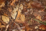 Can you see the Malaysian Leaf Frog (Megophrys nasuta)?