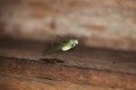 Green katydid [kalbar_1719]