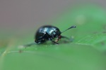 Beetle [kalbar_1819]