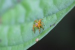 Orange jumping spider [kalbar_1729]