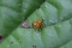 Orange jumping spider