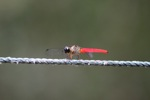 Red dragonfly [kalbar_1732]