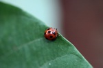 Red beetle with black spots [kalbar_1831]