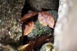 Green-bellied waterfall frog (Staurois natator) [kalbar_1782]