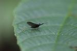 Balck mayfly [kalbar_1796]
