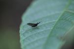 Balck mayfly [kalbar_1799]
