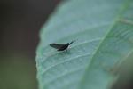 Balck mayfly