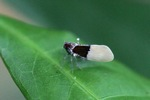 Black and white planthopper with red eyes