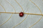 Red beetle with black spots [sumatra_9414]