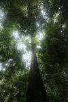 Rainforest tree in Borneo [kalbar_1852]