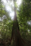 Rainforest tree in Borneo