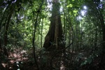 Tree with buttress roots [kalbar_1862]