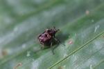 Beetle [kalbar_1876]