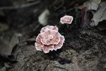 Reddish fungus