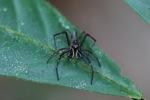 Jumping spider [kalbar_1901]