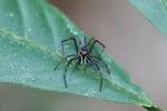 Jumping spider [kalbar_1904]