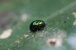 Green metallic beetle [kalbar_1906]