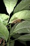 Crazy giant centipede [kalbar_1937]