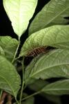 Crazy giant centipede [kalbar_1939]