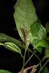Crazy giant centipede [kalbar_1934]