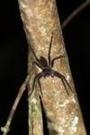 Giant Borneo spider [kalbar_1952]