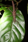 Brown stick insect [kalbar_1950]