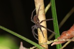 Giant Borneo spider