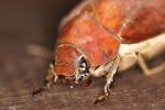 Giant beetle [kalbar_1966]