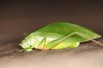Katydid resembling a leaf [kalbar_1972]