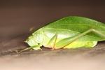 Katydid resembling a leaf [kalbar_1974]