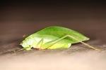 Leaf-mimicking katydid [kalbar_1973]