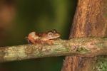 Borno Flying leopard frog (Rhacophorus pardalis) [kalbar_2024]