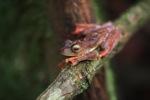 Flying frog (Rhacophorus pardalis) [kalbar_2033]
