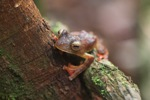 Bornean Gliding tree frog (Rhacophorus pardalis)