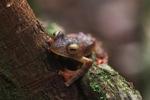 Bornean Gliding leopard frog (Rhacophorus pardalis) [kalbar_2036]